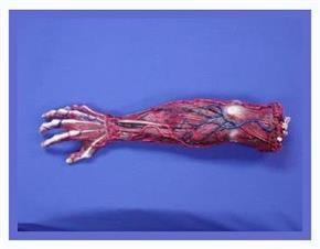 Skinned Right Arm Decoration Prop